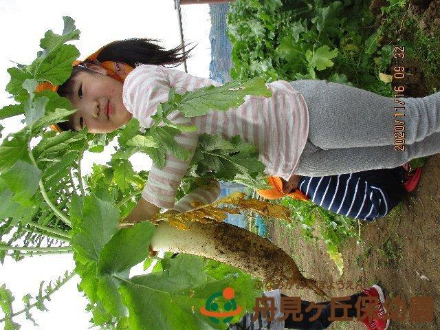 【ほし組】 大根の収穫 をしました!_f0367159_18483341.jpg