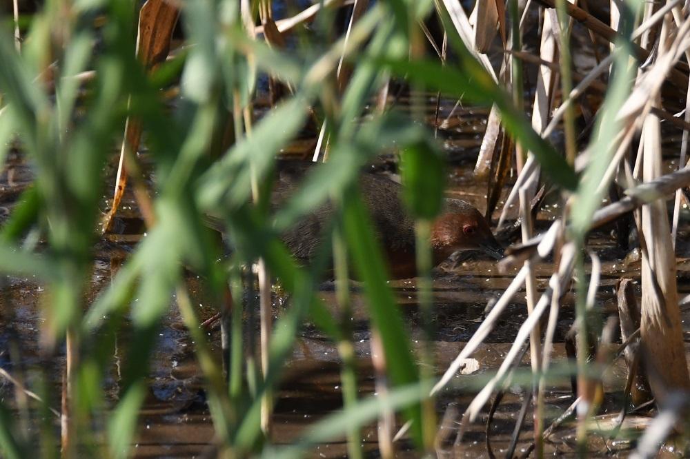 冬鳥も続々増えてきました★先週末の鳥類園(2020.11.14~15)_e0046474_23361939.jpg