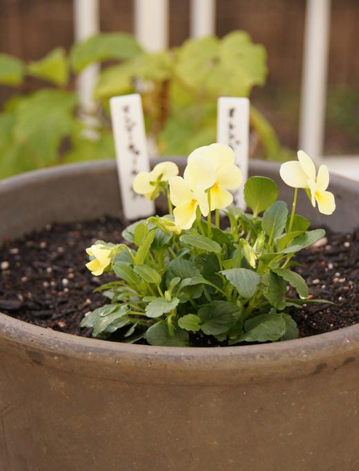 2020年冬(~春)の寄せ植え/活動量計、なかなかGoodです!_c0139591_16272223.jpg
