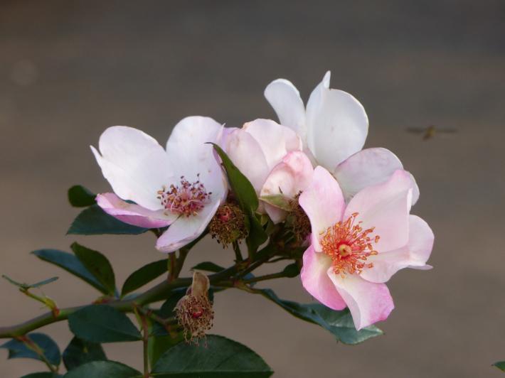 コスモスがバラに_f0296312_14095755.jpg