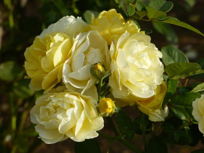 コスモスがバラに_f0296312_14095990.jpg