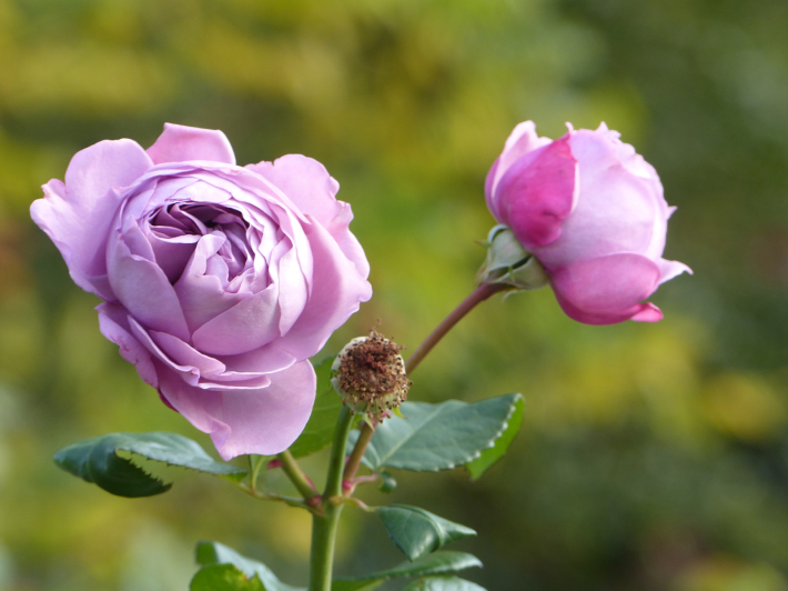 コスモスがバラに_f0296312_14255650.jpg