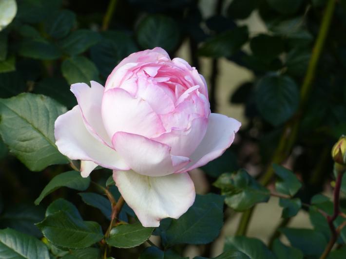 コスモスがバラに_f0296312_14295935.jpg