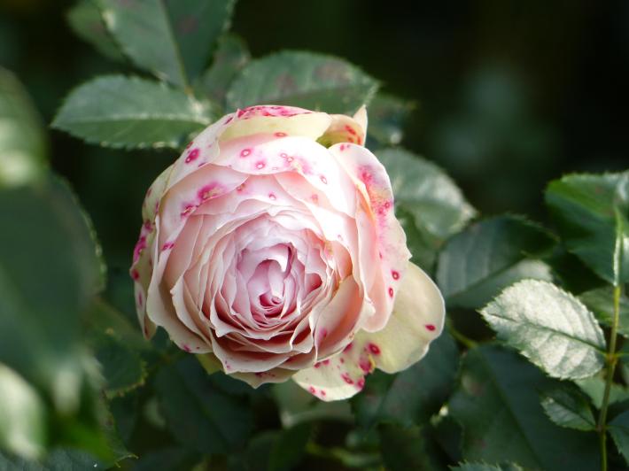コスモスがバラに_f0296312_14354975.jpg