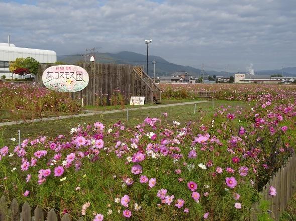 亀岡コスモス園_b0299042_06453893.jpg