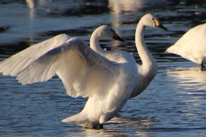 再び、「白鳥の湖」を訪れました。_b0238249_19504116.jpg