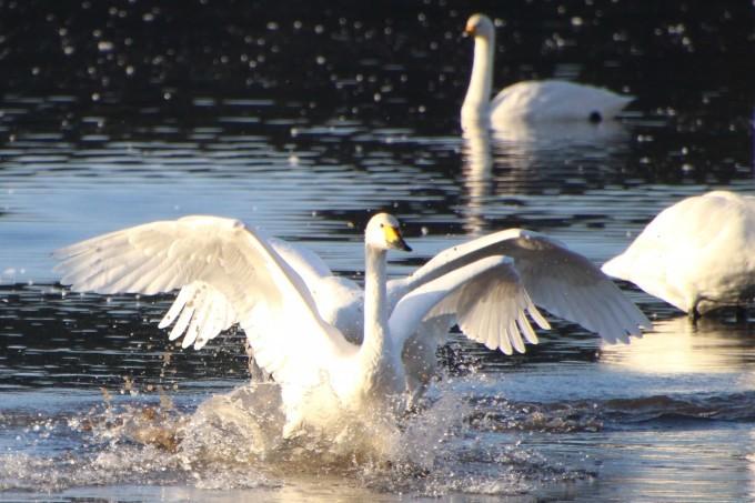 再び、「白鳥の湖」を訪れました。_b0238249_19521787.jpg