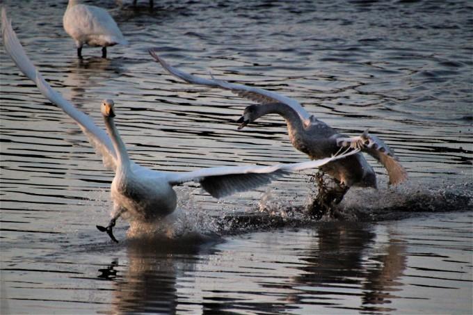 再び、「白鳥の湖」を訪れました。_b0238249_19532938.jpg