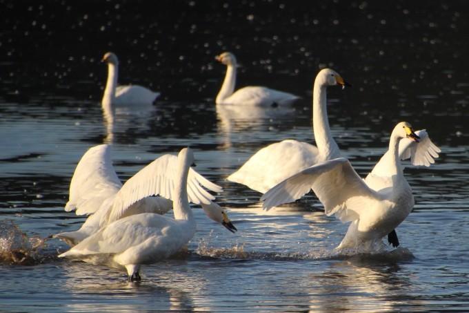 再び、「白鳥の湖」を訪れました。_b0238249_20112444.jpg