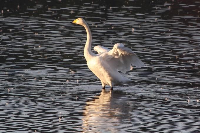 再び、「白鳥の湖」を訪れました。_b0238249_20155015.jpg