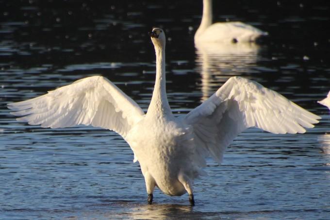 再び、「白鳥の湖」を訪れました。_b0238249_20170792.jpg