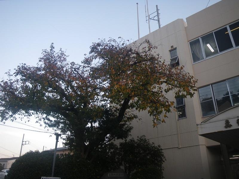 桜の落ち葉染め2020@真鶴_c0033636_00205831.jpg