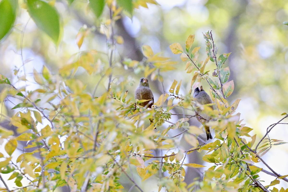 紅葉とカワラヒワ_e0071967_16500153.jpg