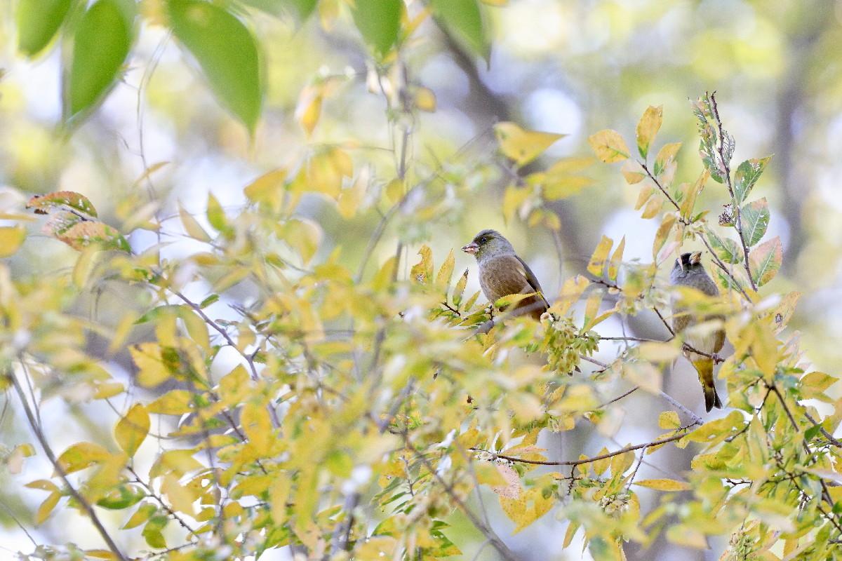 紅葉とカワラヒワ_e0071967_16500310.jpg