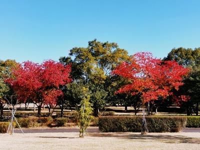 富浜緑地 秋の紅葉の紹介R2.11.13_d0338682_16432725.jpg