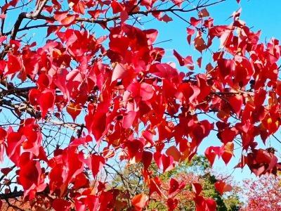 富浜緑地 秋の紅葉の紹介R2.11.13_d0338682_16434976.jpg
