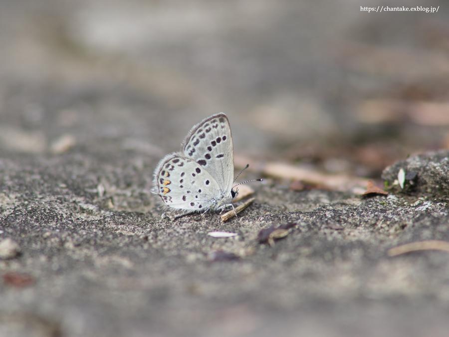 紀州の蝶を訪ねて 2020_c0189013_16185688.jpg