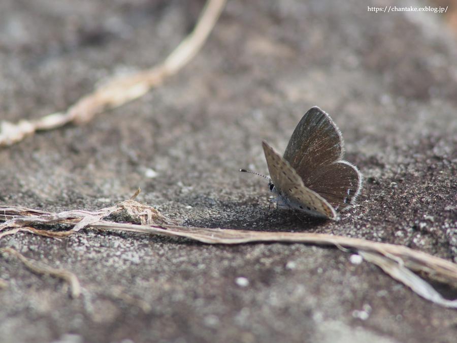 紀州の蝶を訪ねて 2020_c0189013_16330454.jpg