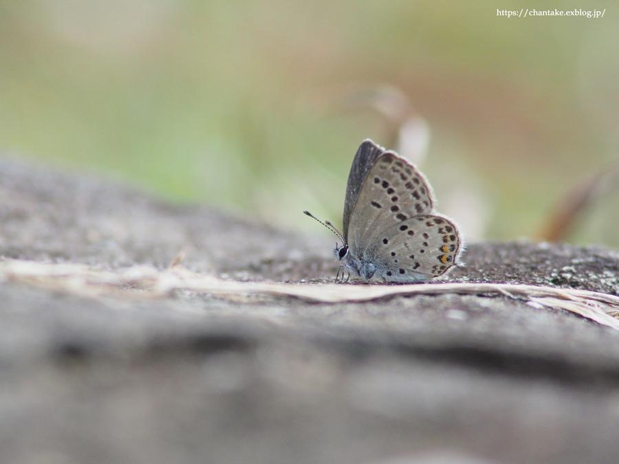 紀州の蝶を訪ねて 2020_c0189013_16354722.jpg