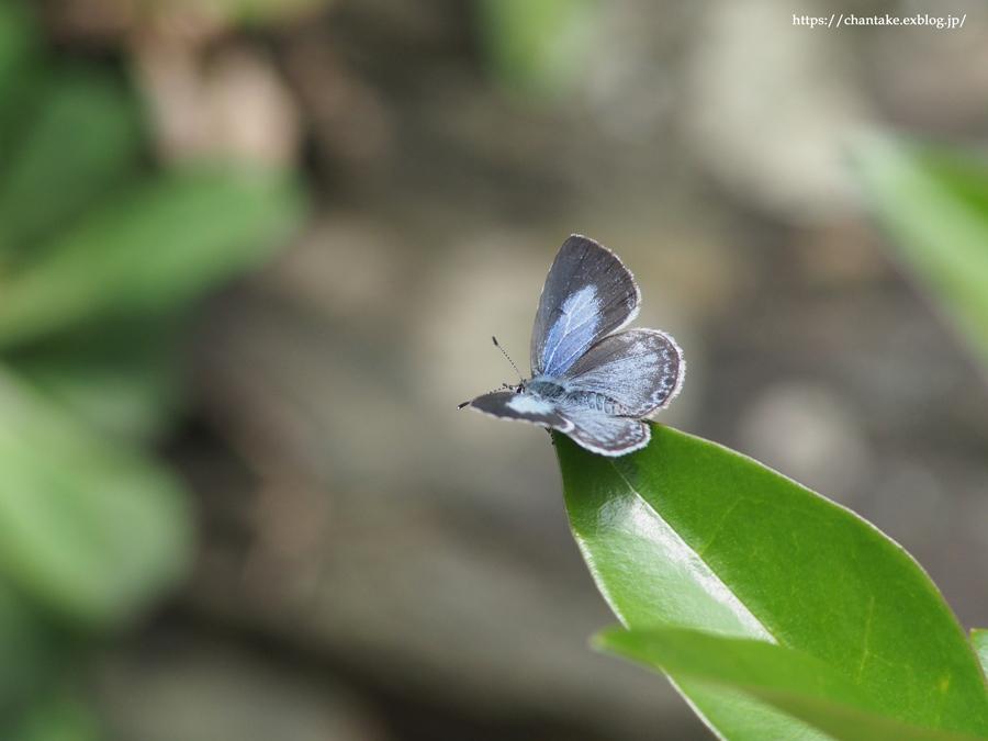紀州の蝶を訪ねて 2020_c0189013_16503013.jpg