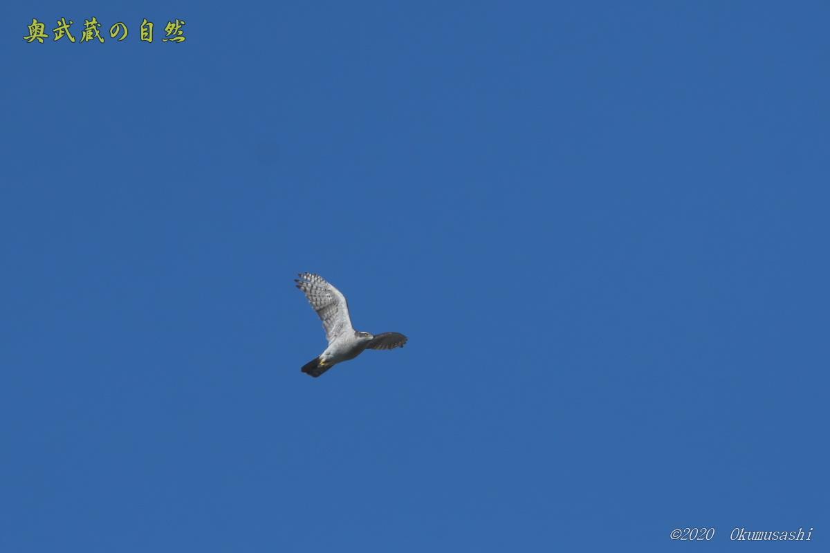 晴天のオオタカ_e0268015_10503258.jpg