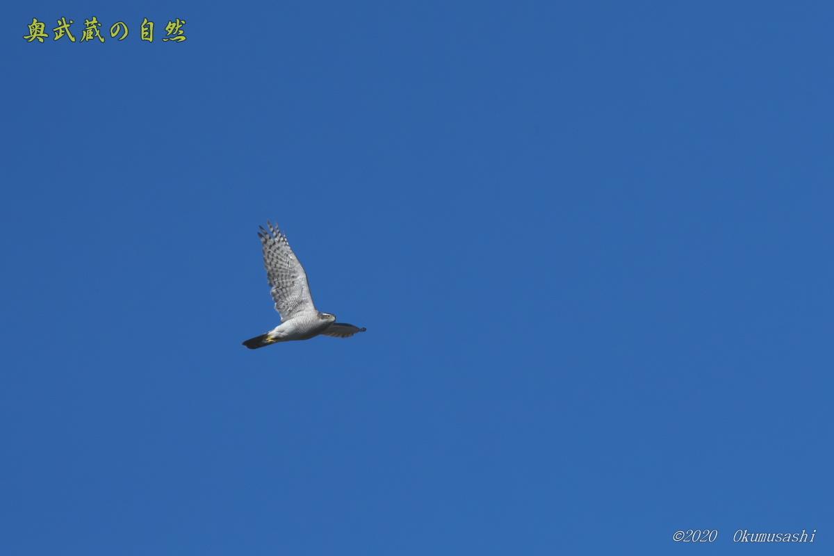 晴天のオオタカ_e0268015_10510001.jpg