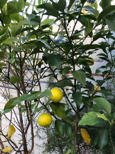 秋のお庭から♪今年は柚子が収穫できそうです_f0023333_22204316.jpg