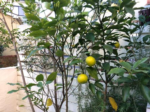 秋のお庭から♪今年は柚子が収穫できそうです_f0023333_22211465.jpg