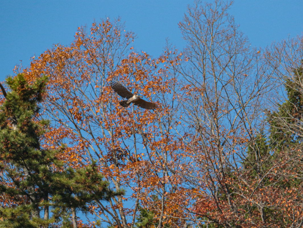 Mountain-Hawk-Eagle_b0403205_16384179.jpg