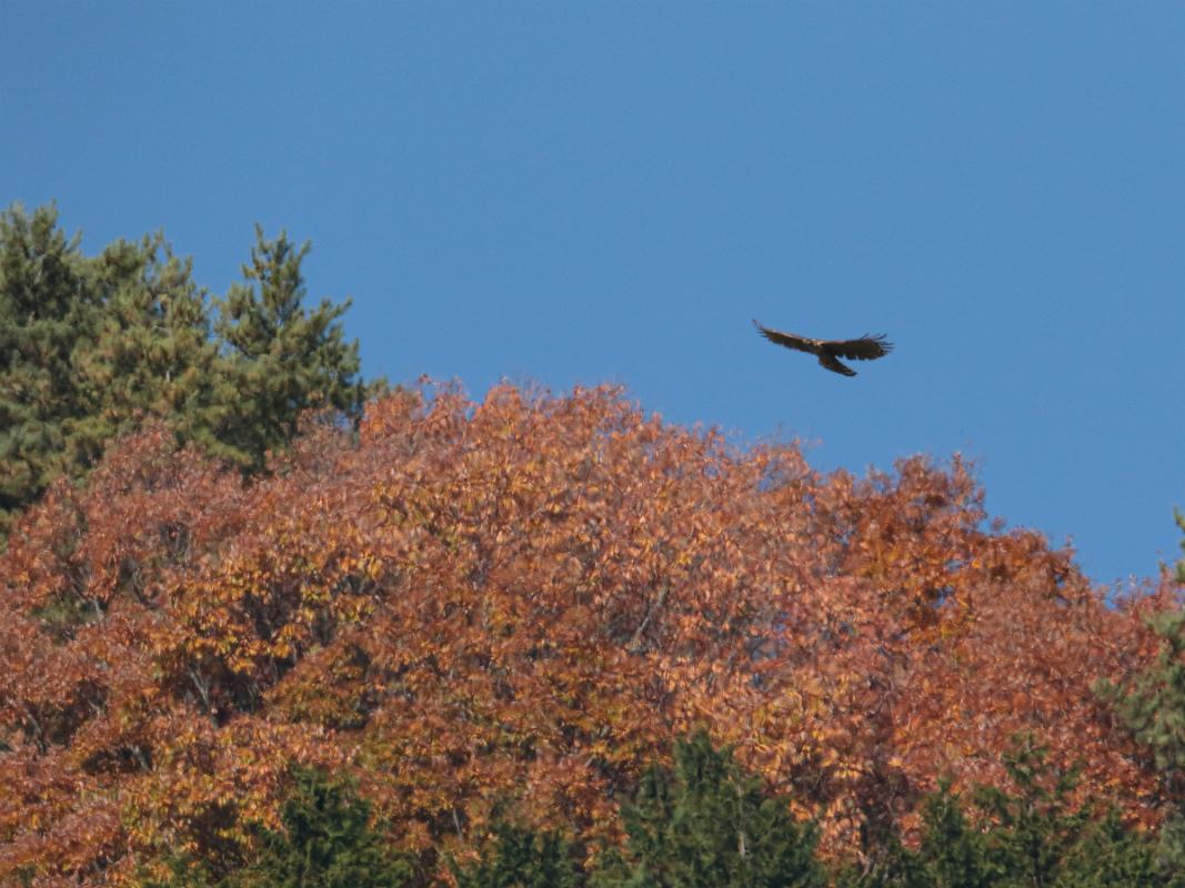 Mountain-Hawk-Eagle_b0403205_16385779.jpg