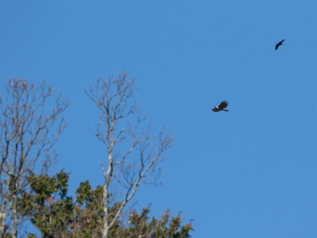 Mountain-Hawk-Eagle_b0403205_16390820.jpg