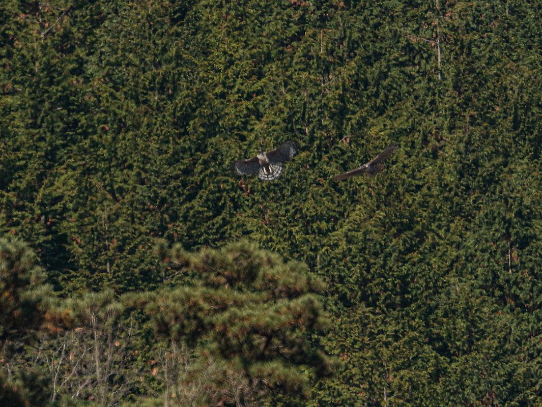 Mountain-Hawk-Eagle_b0403205_16391682.jpg
