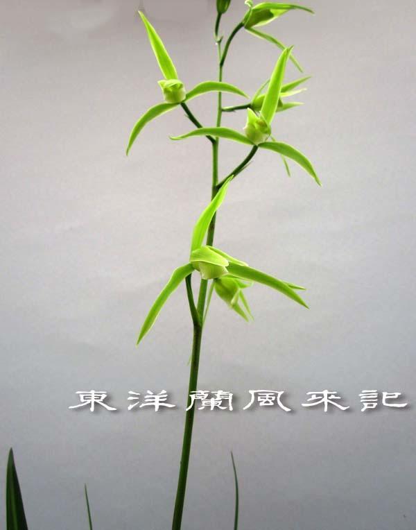 寒蘭「白妙」            No.2063_d0103457_00001357.jpg