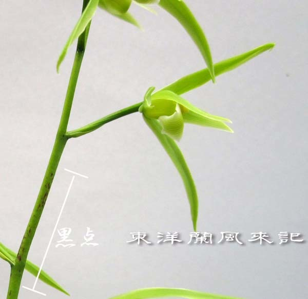 寒蘭「白妙」            No.2063_d0103457_00002073.jpg