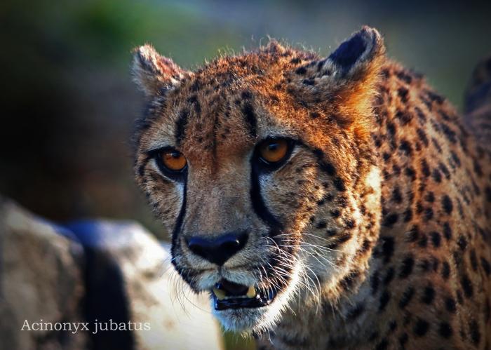チーター:Cheetah_b0249597_05343894.jpg