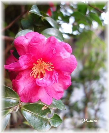 ♡の山茶花の上にお月様_d0387712_19164132.jpg
