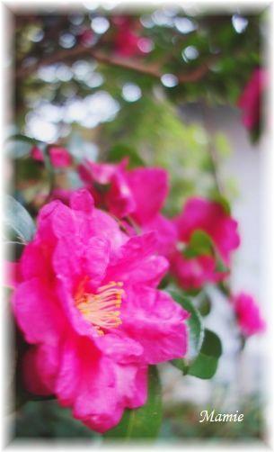 ♡の山茶花の上にお月様_d0387712_19164355.jpg