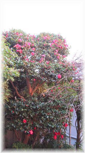 ♡の山茶花の上にお月様_d0387712_19171136.jpg
