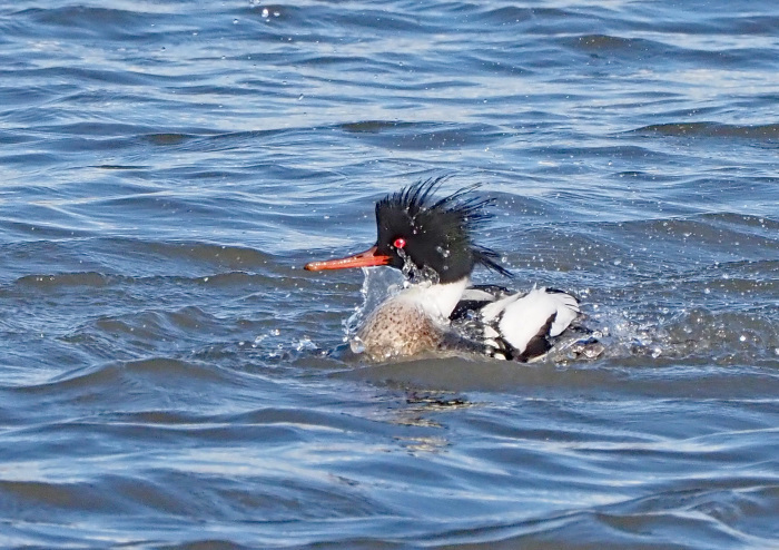 1月の海なし県にウミアイサがやって来た_d0290240_00272600.jpg