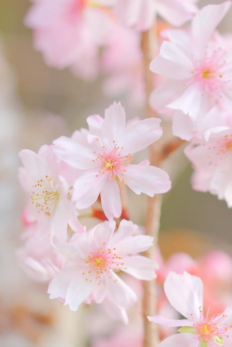 十月桜_c0081453_11262019.jpg