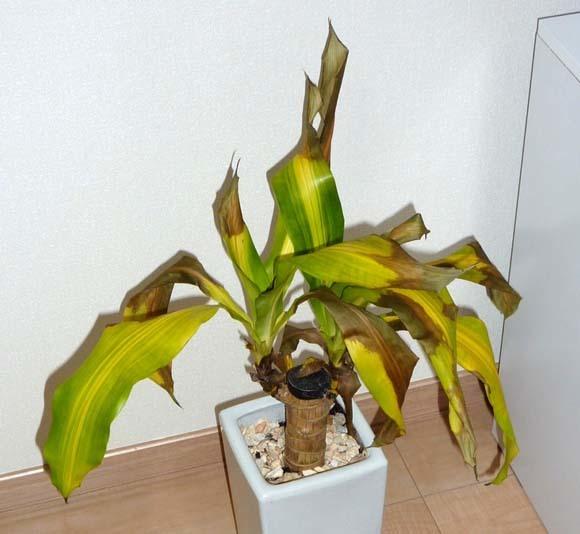 観葉植物避難警報_f0200477_22205535.jpg