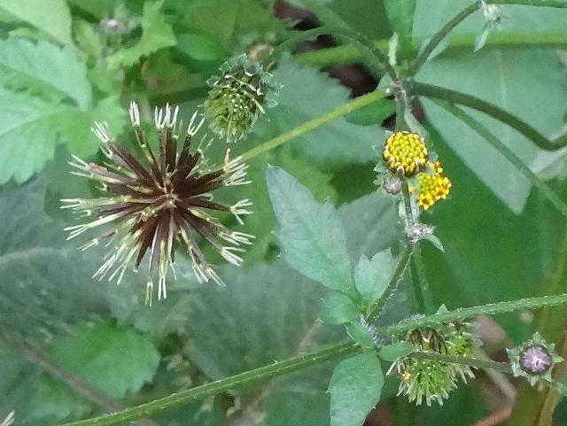 荒れ庭の花と実と三日月_d0088184_21365961.jpg