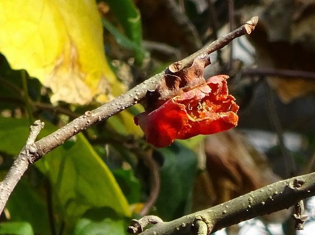 荒れ庭の花と実と三日月_d0088184_21475237.jpg