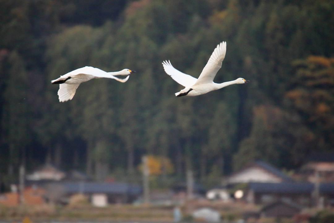 夕暮れの白鳥_e0403850_19431470.jpg