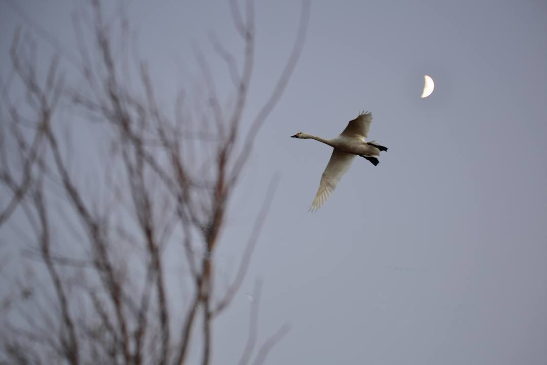 夕暮れの白鳥_e0403850_19433524.jpg