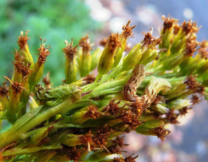 超絶擬態イモムシ2頭 セイタカアワダチソウの花そっくり_b0025008_10193438.jpg