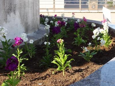 名古屋港水族館前花壇の植栽R2.11.11_d0338682_16523566.jpg