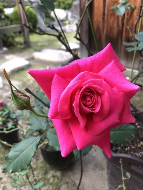 寡黙な薔薇_e0385475_17262640.jpg