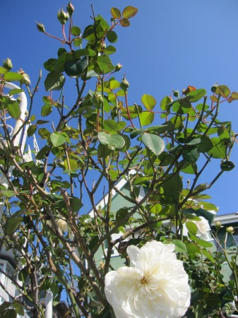 庭仕事と石焼風ビビンバです。_a0174419_13545613.jpg