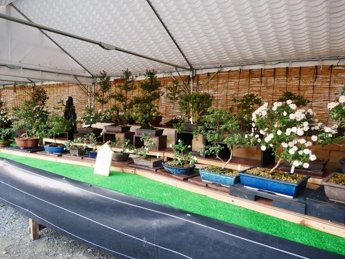 和歌山城公園菊花展  2020-11-28 00:000_b0093754_22525305.jpg